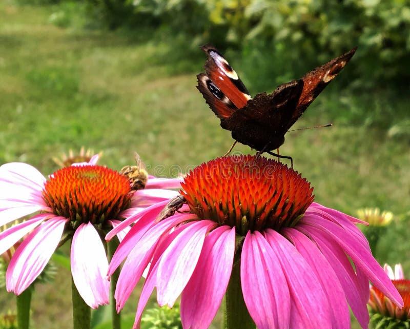 Duży czarny motyli monarcha chodzi na roślinie z kwiatami zdjęcie royalty free