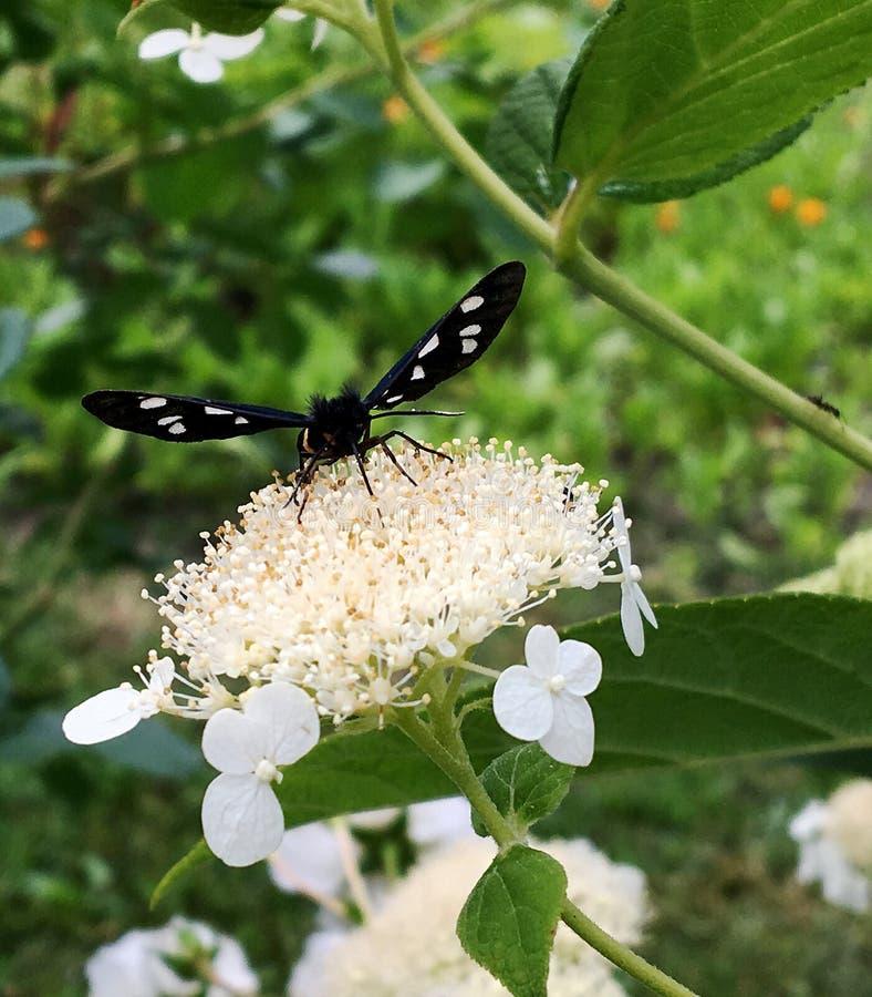 Duży czarny motyli monarcha chodzi na roślinie z kwiatami obrazy stock