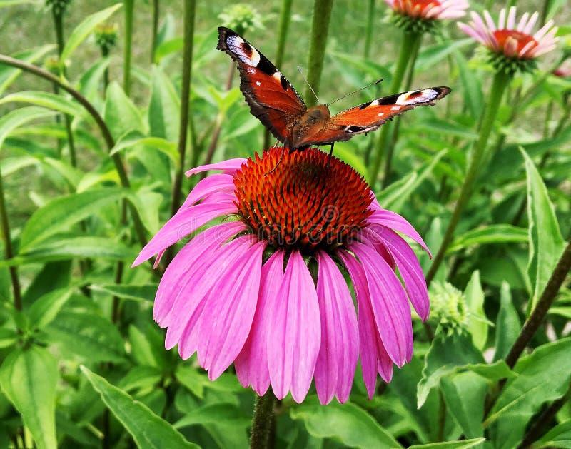 Duży czarny motyli monarcha chodzi na roślinie z kwiatami obrazy royalty free