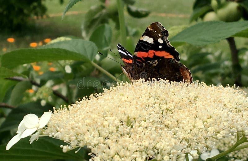 Duży czarny motyli monarcha chodzi na roślinie z kwiatami zdjęcie stock