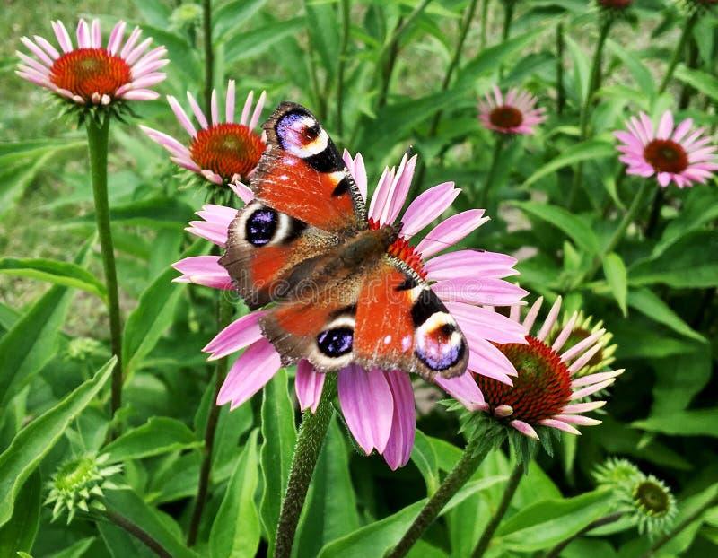 Duży czarny motyli monarcha chodzi na roślinie z kwiatami fotografia stock