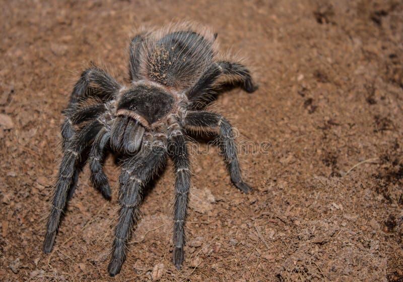 Duży czarny pająk z kosmatymi długimi nogami Ja rusza się wolno i zaciszność na ciepłej ziemi Pająk jest antycznym symbolem tajem fotografia royalty free