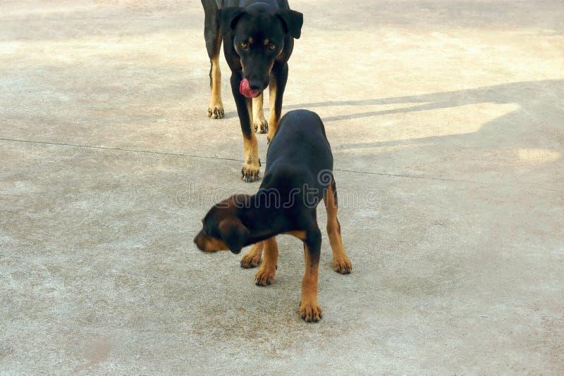 Duży czarny pies liże jego usta i gryzienie czarny mały pies, Selekcyjna ostrość obraz stock