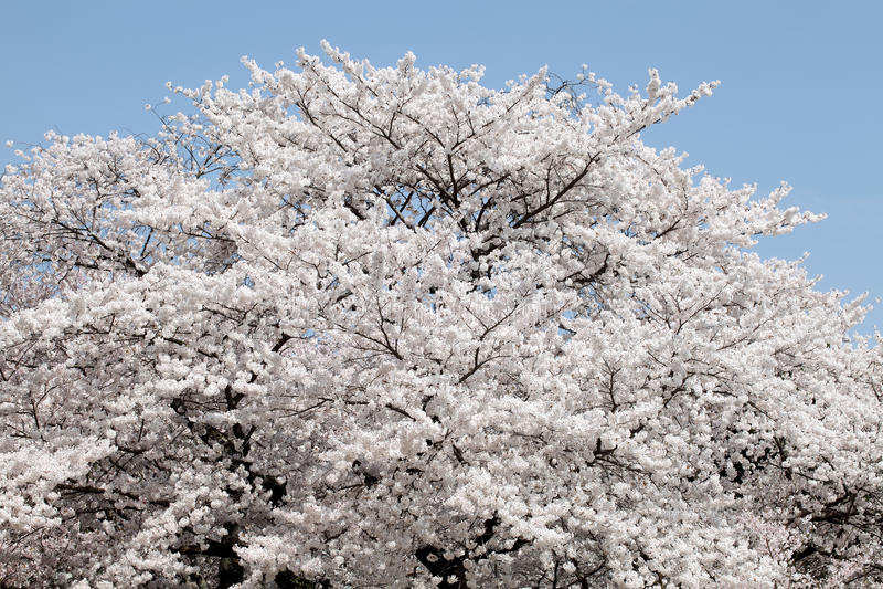 Duży czereśniowego okwitnięcia drzewo zdjęcia stock