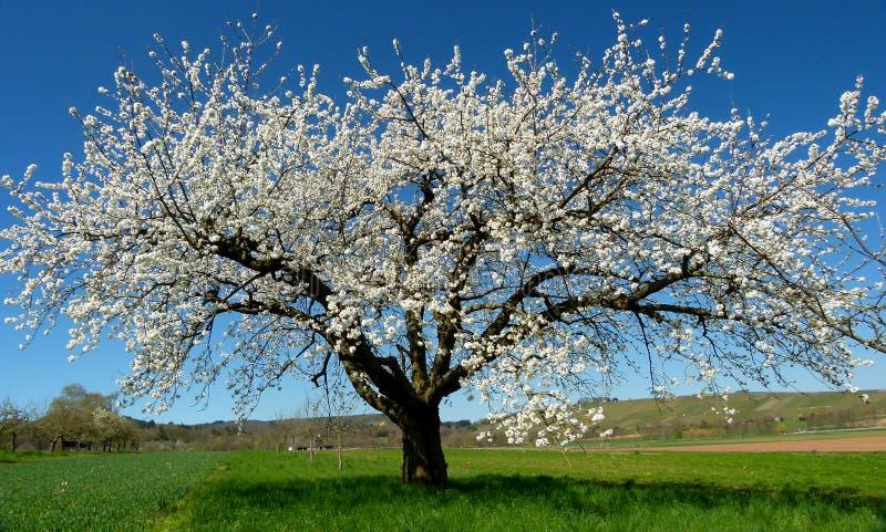 Duży czereśniowy drzewo w kwiacie przed niebieskim niebem 1 zdjęcie royalty free