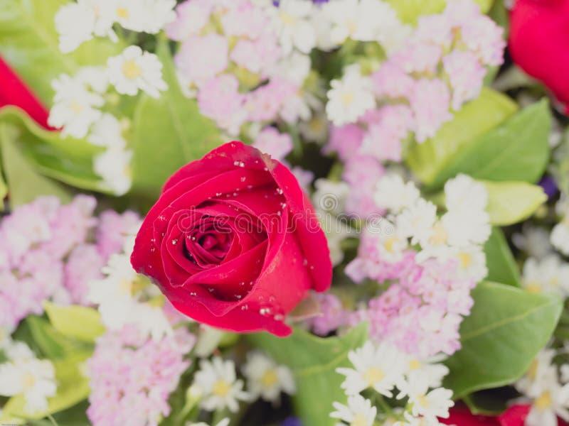 Duży czerwieni róży kwiat z różowym małym kwiatu tła miękkiej części focu zdjęcie stock