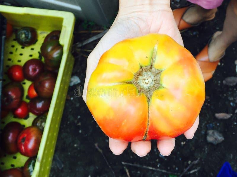 duży czerwony żółty pomidor w ręce fotografia stock