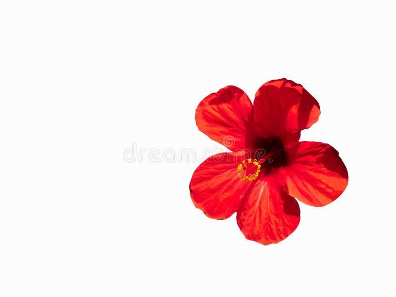Duży czerwony kwiat odizolowywający na białym tle poślubnik fotografia stock