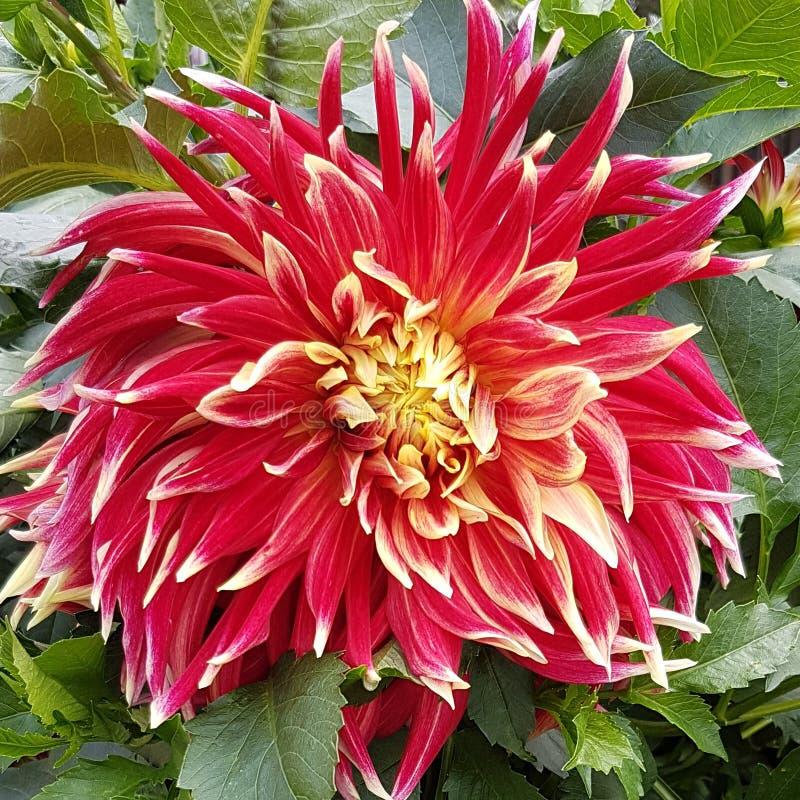 Duży czerwony kwiat zieleni foilage fotografia stock