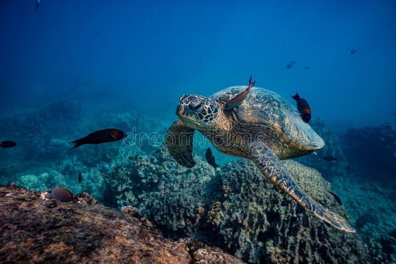 Duży denny żółw przeciw wody powierzchni dolnemu widokowi zdjęcie royalty free