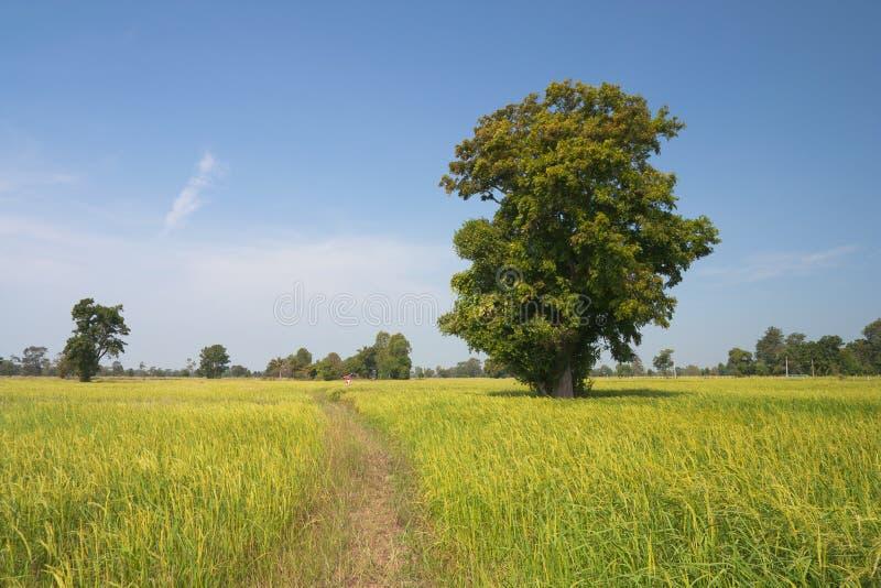 Download Duży drzewa i ryż pole zdjęcie stock. Obraz złożonej z łąka - 28970540