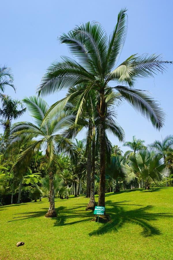 Duży drzewko palmowe z niebieskim niebem i bardzo czystą trawą na tropikalnym miejscu - fotografia zdjęcia royalty free