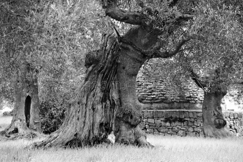 Duży drzewo oliwne na oliwnym produkci gospodarstwie rolnym zdjęcia royalty free