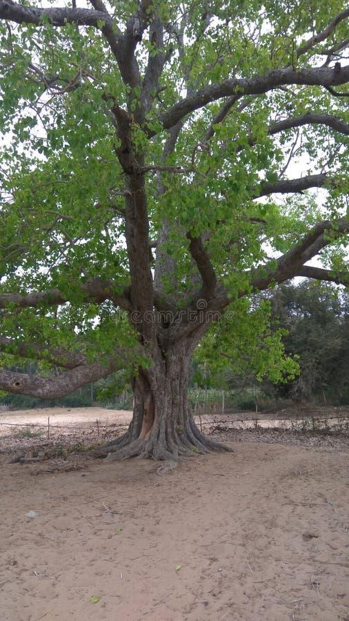 Duży drzewo tęsk drzewo zdjęcia royalty free