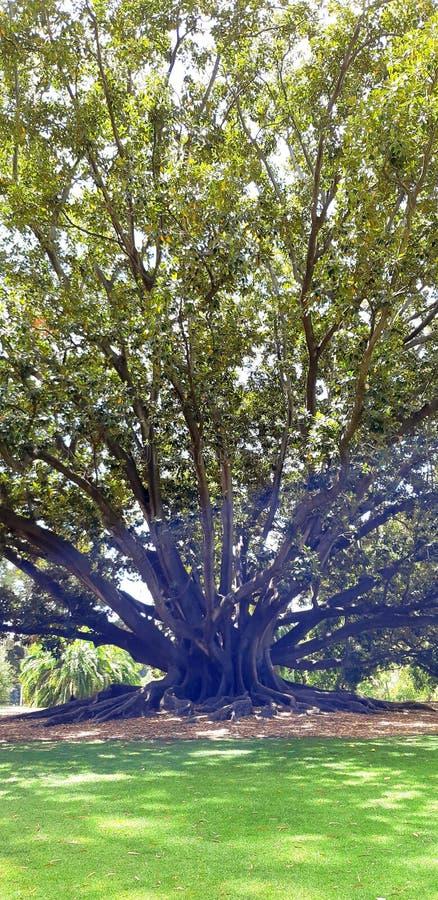 duży drzewo w królewiątko parku zdjęcie royalty free