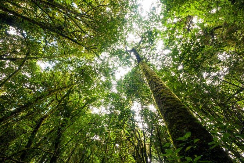 Duży drzewo w lesie tropikalnym fotografia royalty free