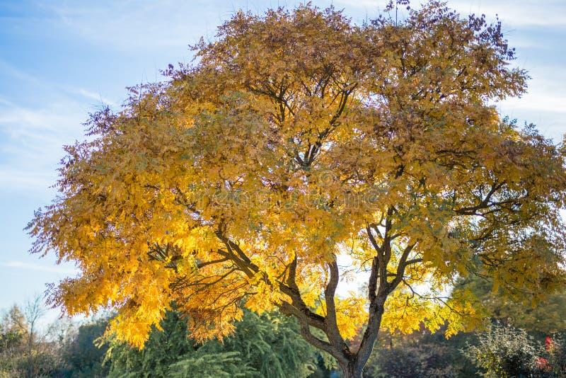 Duży drzewo w parku w jesieni fotografia stock