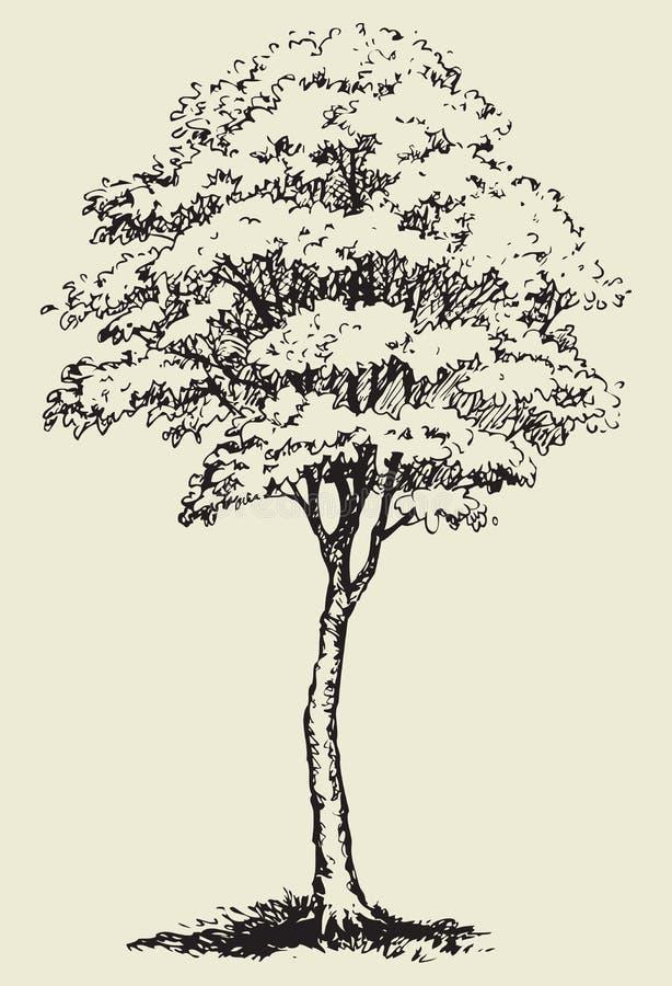 Duży drzewo Wektorowy nakreślenie royalty ilustracja