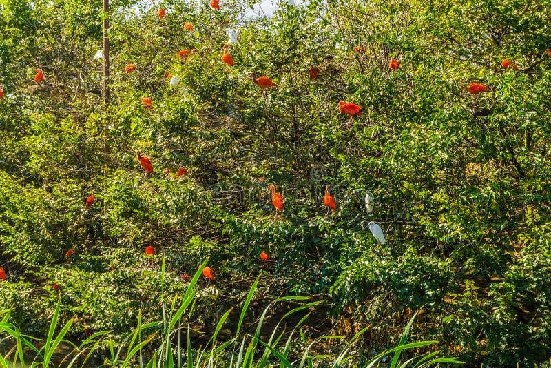 Duży drzewo wypełniał z tropikalnymi szkarłatnymi ibisa i bielu czapli ptakami zdjęcie royalty free