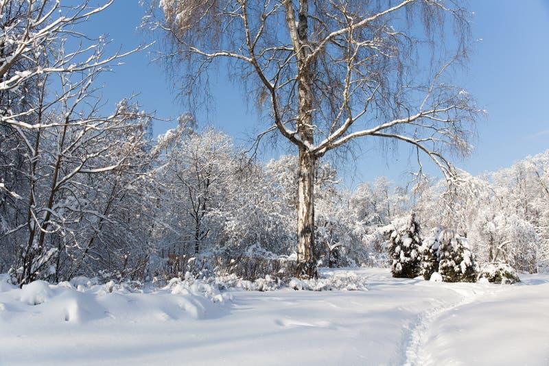 Duży drzewo z śniegiem zakrywającym rozgałęzia się, piękny zima lasu krajobraz, zimny słoneczny dzień błękitne niebo tła fotografia royalty free