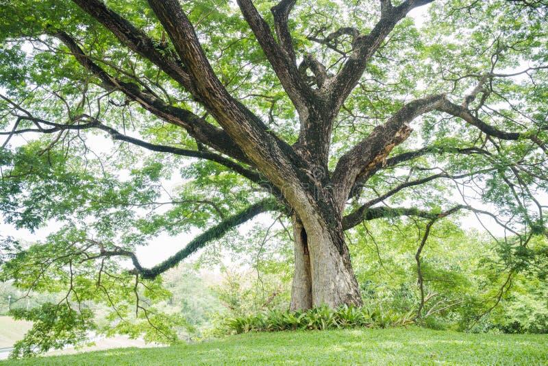 Duży drzewo z świeżymi zielonymi liśćmi zdjęcia royalty free