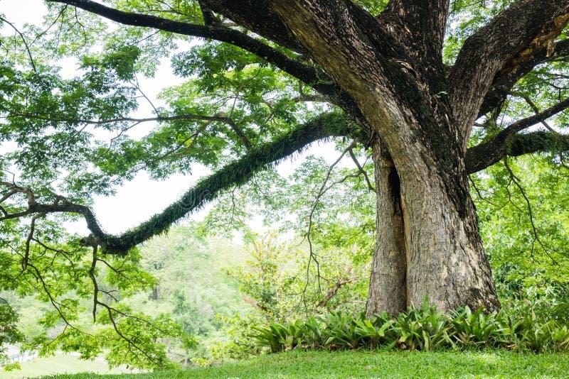 Duży drzewo z świeżymi zielonymi liśćmi obraz royalty free