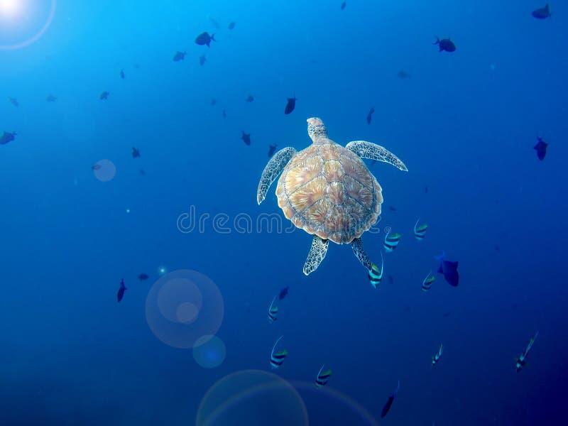 Duży dziki denny żółw pływa do dostaje lotniczym zdjęcie royalty free