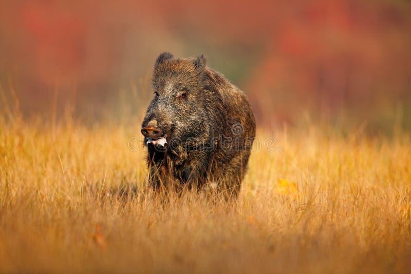 Duży Dziki knur, Sus scrofa, biega w trawy łące, czerwony jesień las w tle obraz royalty free