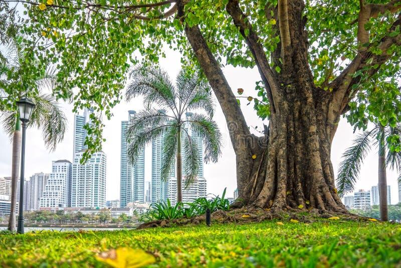 Duży Ficus religiosa drzewo przy jawnym parkiem z budynku tłem zdjęcia royalty free
