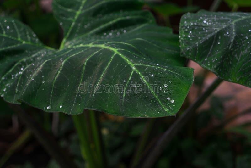 Duży filodendronu liść z wodą opuszcza po wiosna deszczu fotografia royalty free
