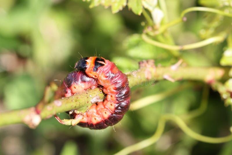 duży gąsienica zdjęcie royalty free