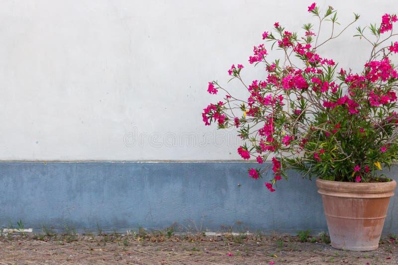 Duży gliniany flowerpot z czerwienią kwitnie przeciw białej i błękitnej ścianie Plenerowa i uliczna dekoracja zdjęcia stock