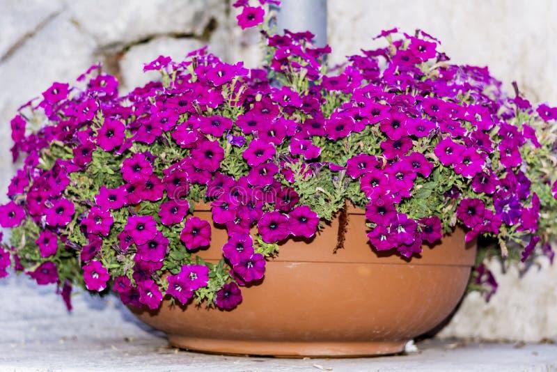 Duży gliniany garnek z różowymi petunia kwiatami zdjęcie stock