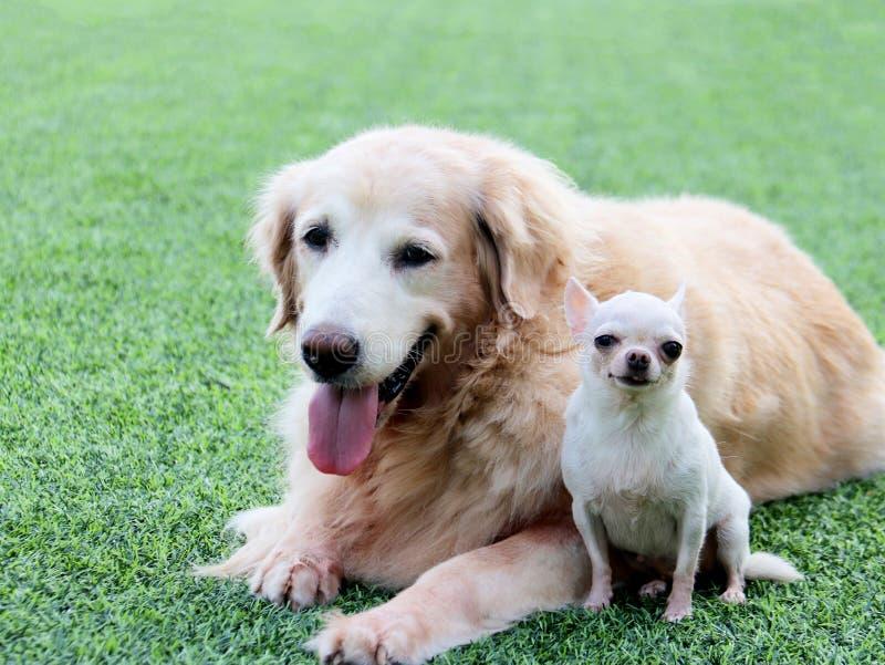 Duży golden retriever psi i mały chihuahua siedzi wpólnie zdjęcie stock