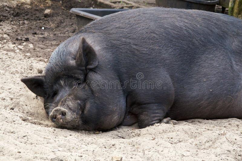 Duży gruby potbelly świni dosypianie obraz royalty free