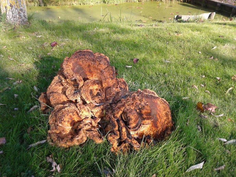 Duży grzyb w lesie w Nieuwerkerk aan melinie IJssel obrazy stock