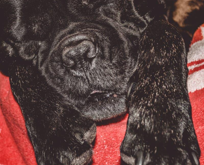 Duży i czarny śpiący pies kłama w domu Traken Kan Corso, Francuski buldog Uroczy kaganiec pet zdjęcie stock