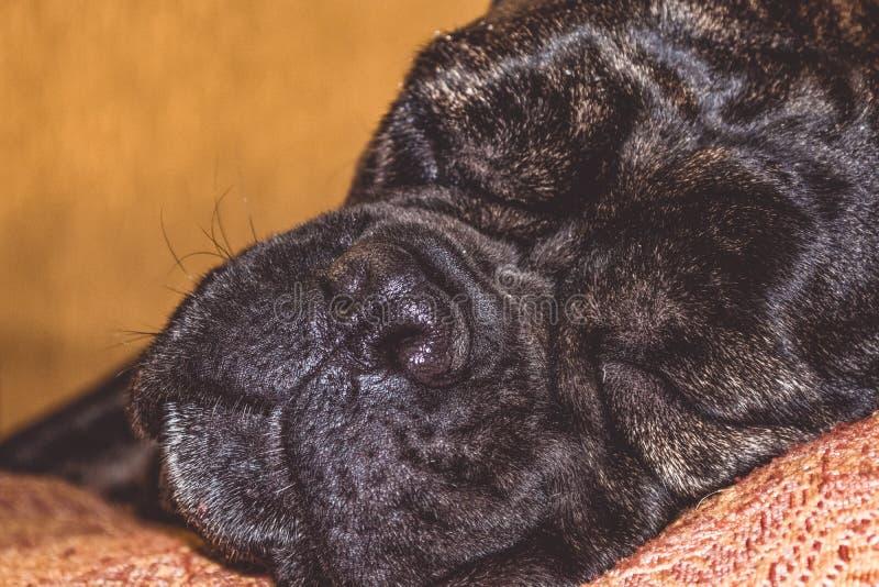 Duży i czarny śpiący pies kłama w domu Traken Kan Corso, Francuski buldog Uroczy kaganiec pet zdjęcie royalty free