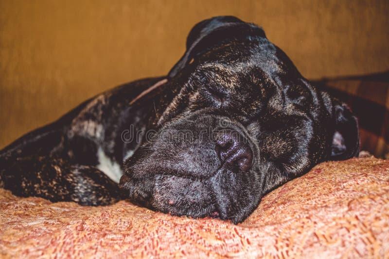 Duży i czarny śpiący pies kłama w domu Traken Kan Corso, Francuski buldog Uroczy kaganiec pet obraz royalty free