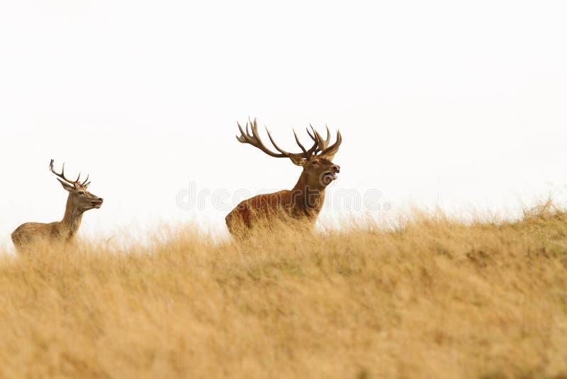 Duży jeleń na wzgórzu fotografia royalty free