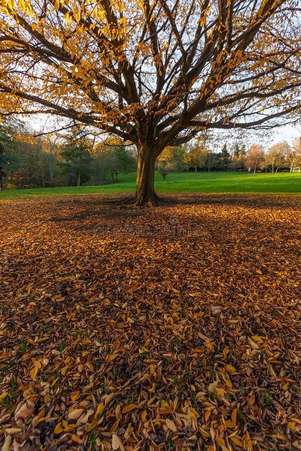 Duży jesieni drzewo z kolorem żółtym opuszcza na zieleni gr fotografia stock