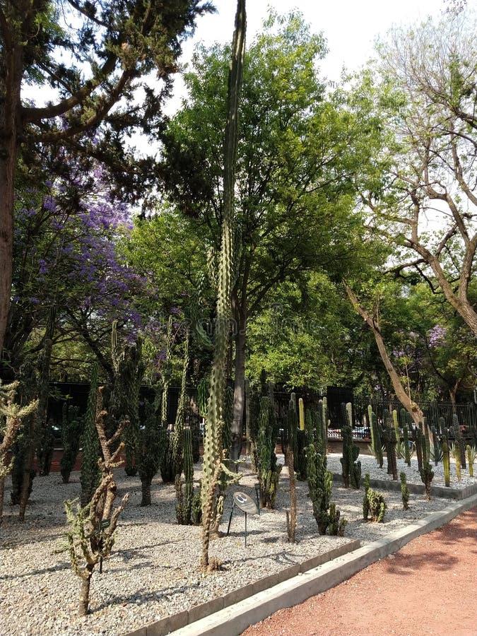 Duży kaktus kiedykolwiek widzieć fotografia royalty free