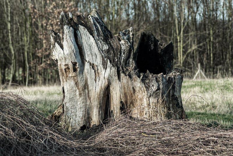 duży korzeniowy drzewo zdjęcie royalty free