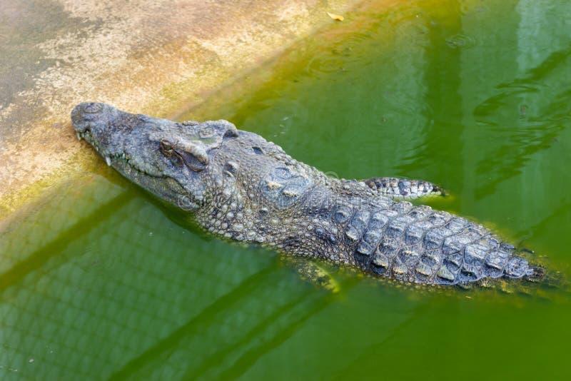 Duży krokodyl w gospodarstwie rolnym przy Bangkok Tajlandia zdjęcie royalty free