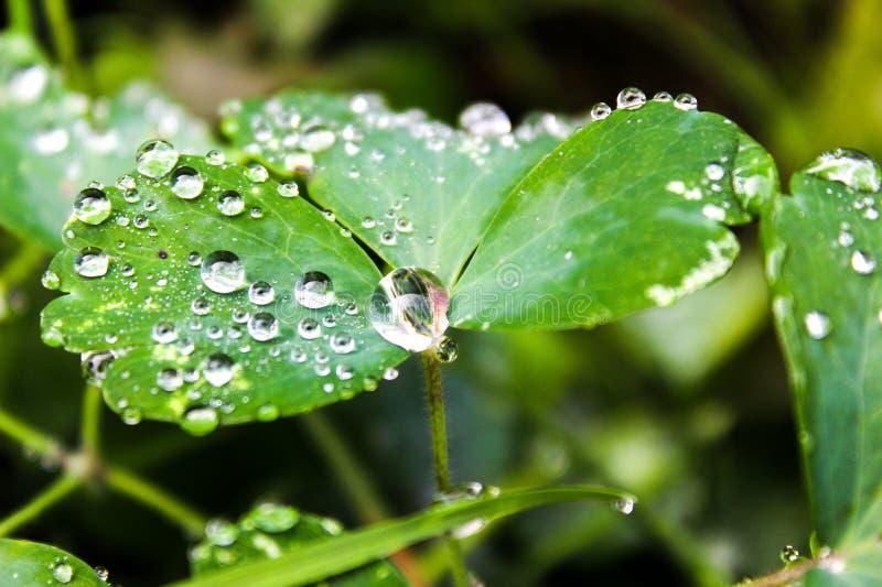 duży kropli zieleni liść makro- fotografii woda zamkniętego rosy kropelek trawy liść ranek zamknięta woda Kropla Kryształ - jasny fotografia stock