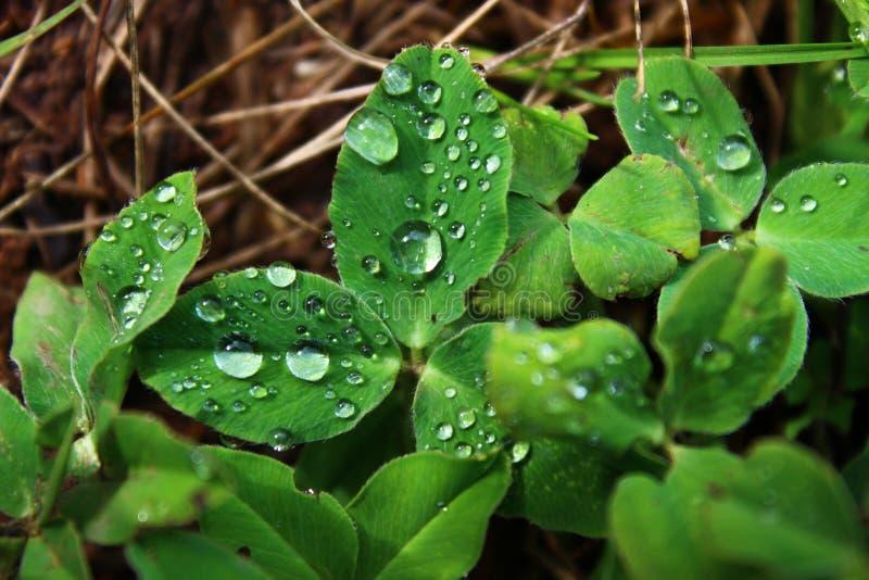 duży kropli zieleni liść makro- fotografii woda zamkniętego rosy kropelek trawy liść ranek zamknięta woda Kropla Kryształ - jasny zdjęcie royalty free