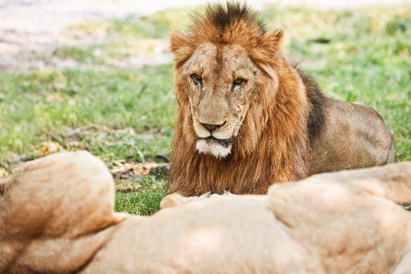 Duży lew obraz royalty free