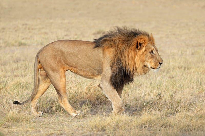 Duży męski Afrykański lew - Etosha zdjęcie royalty free