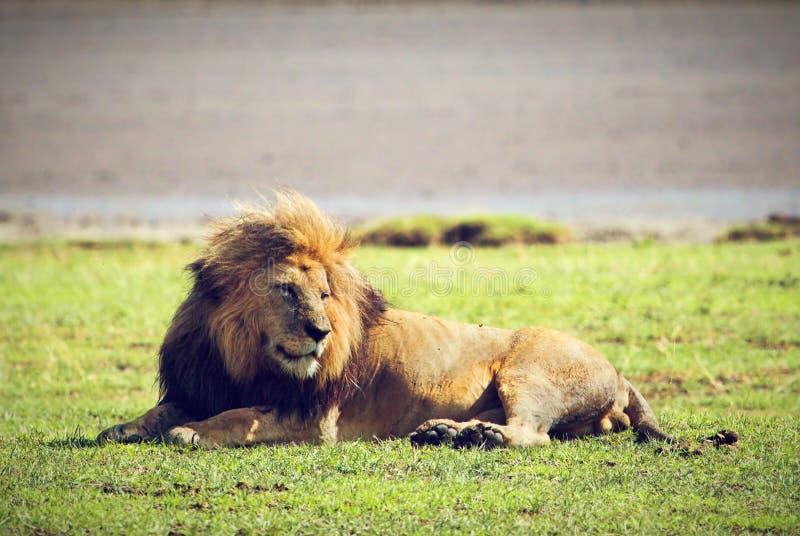 Duży męski dziki lew na sawannie. Ngorongoro, Afryka. zdjęcie royalty free
