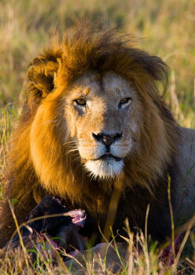 Duży męski lew w sawannie Park Narodowy Kenja Tanzania Maasai Mara kmieć obraz stock